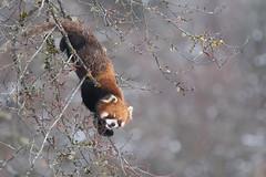 Happy New Year (Tim Melling) Tags: ailurus fulgens styani red panda china sichuan timmelling