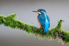 Martin-pêcheur d'Europe (Alcedo atthis ) Common Kingfisher (Denis.R) Tags: martinpêcheurdeurope alcedoatthis commonkingfisher étang oiseau pecheur pluie oiseaux bird france lorraine moselle sony200600g sony200600mmf5663ossfe a7riii a7r3 alpha7riii alpha7r3