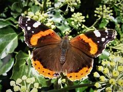 Butterfly 1915 (Vanessa atalanta) (+1800000 views!) Tags: butterfly borboleta farfalla mariposa papillon schmetterling فراشة