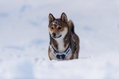 Shiba-inu (Nicomonaco73) Tags: savoie winter nature dogs shiba inu pets dog snow revard mont alpes nikon d750