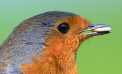 Robin Portrait-In My Back Garden (Zooman2009) Tags: bird life robinerithacusrubecula