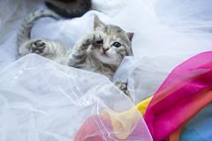 20190624_8471c (Fantasyfan.) Tags: kuunkissan european kitten fantasyfanin