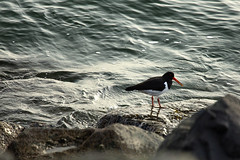 New year's day on the rocks (Wendy:) Tags: newyearsday january 2020 bird oystercatcher southwall