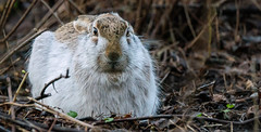 Rabbit (Timo Airaksinen) Tags: rabbit winter finland espoo nature naturephotos naturephotography naturalphoto wildlife wildlifephotography airakti