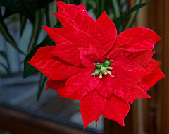 Poinsettia 1 (Largeguy1) Tags: macro red happy new year 2020 flower