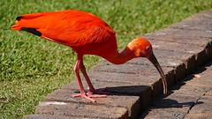 Scarlet Ibis (svenr67) Tags: 2018 animal dmcg3 fauna gardenroute lumix nature outdoor plettenbergbay sanctuary southafrica südafrika birdsofeden