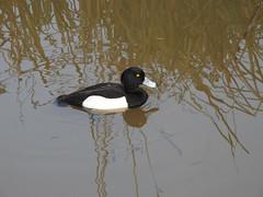 Tufted Duck DSCN3800 (ianpreston) Tags: 2020 willington derbyshirewildlifetrust canadagoose tuftedduck