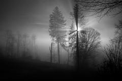 Good morning! (Toni_V) Tags: m2402914 rangefinder digitalrangefinder messsucher leica leicam mp typ240 type240 28mm elmaritm12828asph hiking wanderung randonnée escursione jurahöhenweg hauensteinbelchenflueoensingen solothurn backlight gegenlicht bw monochrome blackwhite schwarzweiss fog nebel mist switzerland schweiz suisse svizzera svizra europe tree baum ©toniv 2019 191230 schlosshöchi