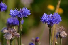 Vivement l'été ! (Bernard P.) Tags: fleurs bleu nature jardins nikon france micro