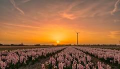 A friendly bunch of hyacinths. (Alex-de-Haas) Tags: 1635mm d500 dutch europa europe holland nederland nederlands netherlands nikkor nikkor1635mm nikon nikond500 noordholland agriculture akkerbouw beautiful beauty bloemen bloemenvelden boerenland bollenvelden bulbfields carbonneutral electricity elektriciteit energie energy farmland farming flowerfields flowers groenestroom hyacint hyacinten hyacinth hyacinths landbouw landscape landscapephotography landschaft landschap landschapsfotografie lente lucht mooi polder pracht renewable renewableenergy renewables schoonheid skies sky spring sundown sunset wind windenergy windfarm windpark windpower windturbine windenergie windmolen windmolenpark zonsondergang burgerbrug northholland
