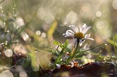 Pâquerette d'un matin (mars-chri) Tags: roséedumatin pâquerette prairie champs arrièreplan valdoise