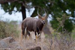 Nyala bull (leendert3) Tags: leonmolenaar southafrica krugernationalpark wildlife wilderness wildanimal nature naturereserve naturalhabitat mammal antelope nyala naturethroughthelens ngc npc