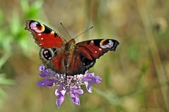 Aglais io (Linnaeus 1758) (ajmtster) Tags: macro macrofotografía insecto insectos invertebrados mariposas mariposa lepidopteros amt anverso aglaisio aglais io inachisio pavoreal nymphalidae ninfalidos butterfly butterflies papillon farfalle