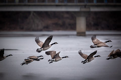 Geese in the Park (Phil Roeder) Tags: desmoines iowa grayslake canadiangeese geese goose canon6d canonef300mmf28
