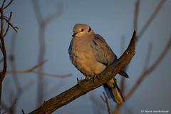 Cape Turtle Dove (leendert3) Tags: leonmolenaar southafrica krugernationalpark wilderness wildlife wildanimal nature naturereserve naturalhabitat bird capeturtledove naturethroughthelens coth5
