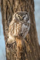 Bonne et heureuse année / Happy new Year! (anniebevilacqua) Tags: nyctaledetengmalm borealowl aegoliusfunerius happynewyear owl chouette