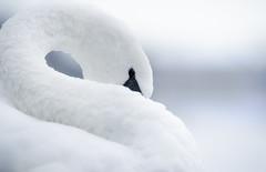 DSC00190 (Samuli Koukku) Tags: swan muteswan bird wildlife outdoor nature naturephotography suomenluonto luontokuva animal art artistic minimalism finland seurasaari