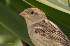 HAPPY NEW YEAR - Spanish Sparrow 502_2773.jpg (Mobile Lynn) Tags: spanishsparrow birds sparrow nature bird fauna wildlife yaiza canaryislands spain coth specanimal coth5 ngc