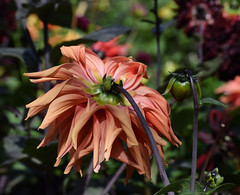 Behind the scenes #1 (MJ Harbey) Tags: flower dahlia orangedahlia canonsashby nationaltrust northamptonshire eudicot asterid asteraceae helianthodae nikon d3300 nikond3300