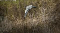 Great Blue In Flight (paulgarf53) Tags: bird flight heron great blue feathers nature wildlife florida wetlands topaz nikon d700