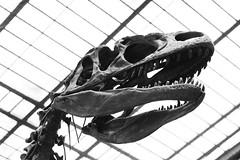 Allosaurus fragilis (just.Luc) Tags: skelet skeleton squelette schedel crâne skull parijs parigi paris îledefrance france frankrijk frankreich francia frança museum museo musée museet museu