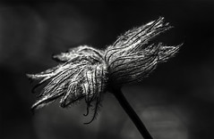 Clemitis B&W (Klaus Ficker --Landscape and Nature Photographer--) Tags: flower bw kentuckyphotography klausficker canon eos5dmarkiv tamron180mmmarco
