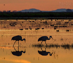 Sandhill Cranes (mikeSF_) Tags: sandhillcranes cranes oria wwwmikeoriacom sunrise sunset morning migration reflection cornfield farm rural mike pentax k3 dfa150450 450mm telephoto birds wildlife