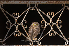 Athene noctua, Κουκουβάγια, Little Owl (belas62) Tags: αττική μεσόγεια owl greece κουκουβάγια ngc nocturnal bird