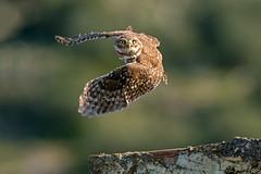 Athene noctua, Κουκουβάγια, Little Owl (belas62) Tags: κουκουβάγια αττική μεσόγεια owl greece ngc nocturnal bird bif