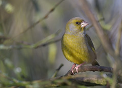 Greenfinch (KHR Images) Tags: greenfinch chlorischloris finch wild bird woodland sculthorpe moor norfolk wildlife nature nikon d500 kevinrobson khrimages