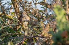 Accenteur mouchet (pcaze81) Tags: oiseau mazères ariège sigma150600mmf563oshsmcomtemporary015 occitanie accenteurmouchet canoneos7dmarkii domainedesoiseaux dunnock passériformes prunellamodularis prunellidés bird france