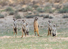 Find the mistake :-)! (jaffles) Tags: southafrica südafrika kalahari kgalagaditransfrontierpark ktp olympus safari wildlife natur nature beautiful