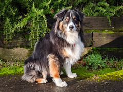 New Year's Day (jayvan) Tags: dash aussie australianshepherd dog newyearsday 2020