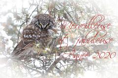 Happy New Year ! | Bonne Année ! | Nyctale de Tengmalm | 4 janvier 2018 | Domaine de Maizerets | Québec (sylvain.messier) Tags: sylvainmessier nikond7100 sigma100400mmf563dgoshsmcontemporary bird strigidé owl nyctaledetengmalm borealowl aegoliusfunereus happynewyear bonneannée domainedemaizerets québecquébec