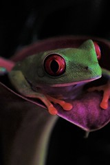 Happy 2020. (catherine4077) Tags: treefrog macro macrophotography photoexpo naturevisions