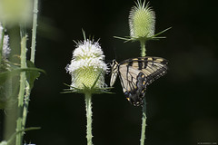 Butterfly 2019-193 (michaelramsdell1967) Tags: butterfly butterflies nature macro animal animals insect insects green yellow white giant swallowtail beauty beautiful pretty lovely vivid vibrant detail delicate fragile meadow bug bugs bokeh upclose closeup thistle wings wildlife outdoors outside zen