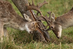 Not Seeing Eye To Eye (Chris*Bolton) Tags: fallowdeer deer antlers fighting male stag stags nature wildlife winter phoenixpark dublin ireland