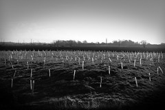 Forest, 2050 (PCPics (Paul Close)) Tags: ely bypass saplings future growth imagination