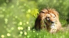 Lion - 7923 (✵ΨᗩSᗰIᘉᗴ HᗴᘉS✵89 000 000 THXS) Tags: lion animal nature belgium europa aaa namuroise look photo friends be yasminehens interest eu fr party greatphotographers lanamuroise flickering challenge