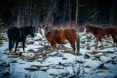 Wild Horses (vitali.ouvarov) Tags: animals horses wildlife landscape snow winter trees ice white yellow green plains grass beautiful outdoors national park wild