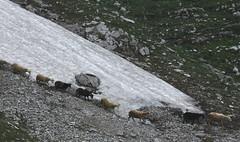 Passaggio (lincerosso) Tags: pecore sheep passaggio nevaio ghiaione montagna paesaggio mountainscape bellezza armonia mangart slovenia