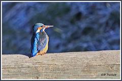 Martin-Pêcheur 200101-08-P (paul.vetter) Tags: nature faune oiseau vogel bird martinpêcheur alcedoatthis commonkingfisher martínpescadorcomún guardarios eisvogel alcédinidé