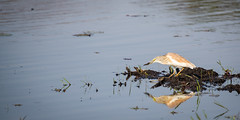 Got One! (jeff_a_goldberg) Tags: africa botswana wildlife safari nathab ardeolaralloides nature nationalpark heron jacana wildernesssafaris naturalhabitatadventures squaccoheron bird okavangodelta ngami northwestdistrict