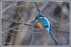 Martin-Pêcheur 200101-03-RP (paul.vetter) Tags: nature faune oiseau vogel bird martinpêcheur alcedoatthis commonkingfisher martínpescadorcomún guardarios eisvogel alcédinidé