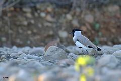 River Lapwing (harshithjv) Tags: bird birding lapwing riverlapwing vanellusduvaucelii vanellus duvaucelii charadriiformes charadriidae aves avian canon 80d tamron bigron g2