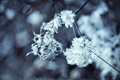 Winter Symphony (***étoile filante***) Tags: sonyilce6000 beautiful beauty beauté schönheit natur nature winter bokehlicious bokeh licht light poetisch poetic pflanze plant