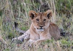 DSC_0178 (mrhikerman) Tags: lion cub africa serengeti cat