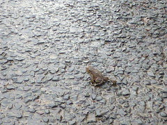 camouflage (Jackal1) Tags: nature toad frog scotland camouflage miminalism