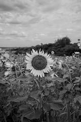 The One (fedech_) Tags: sony sonyalpha sonya7 beauty bellezza zeiss zeisscameralenses brasile brazil nature flowers fiori blackwhite