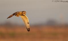 S.E.O-(Golden Flight) (KJB Photography.) Tags: seo short eared owls fenland wetland nature photography wildlife